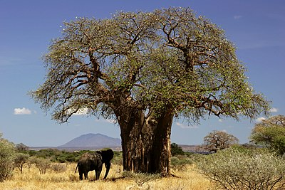 Baobab and elephant Tanzania - modified.jpg